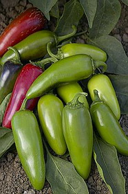 Monster Jalapeno Hot pepper seeds